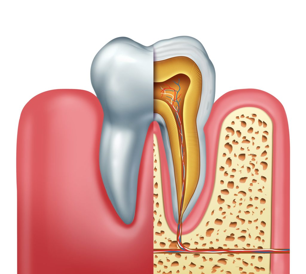Illustration of a tooth cross section showing the nerves and roots attached to the gums